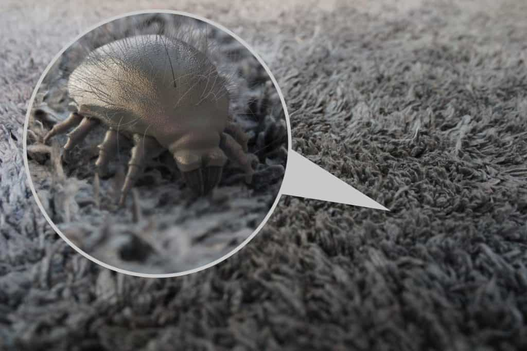 Dust Mites In Carpet Fibers